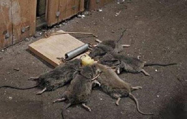 diệt chuột bằng phương pháp dùng bẫy bán nguyệt