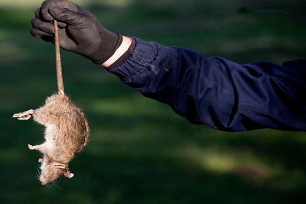 diệt chuột tại Mỹ Xuân